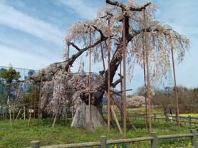 山梨県北杜市小淵沢町松向2767の樹齢400年の神田の大糸桜の全景写真を写真撮影しました
