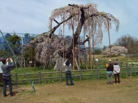 山梨県北杜市小淵沢町松向2767の樹齢400年の神田の大糸桜の全景写真を撮影しました