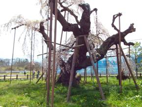 樹齢400年のずぶとい幹で柵があり進入禁止で花見は出来ない