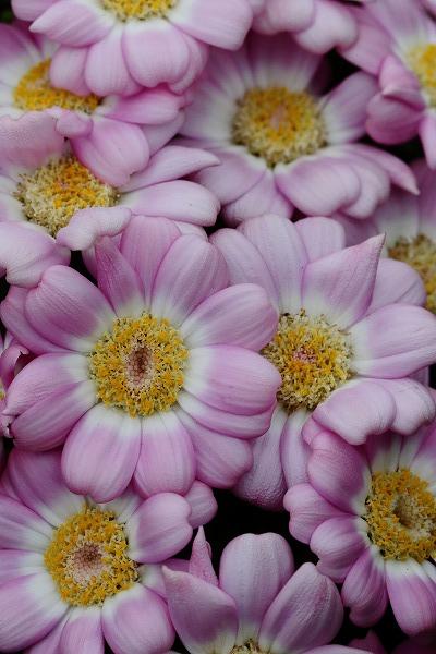 花き研究指導室 オステオスペルマム 150315 018