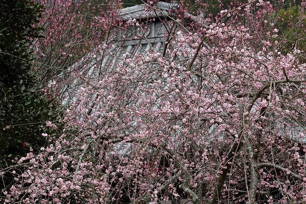清盛寺・枝垂梅 150321 011