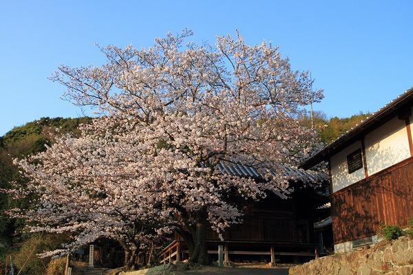 浄土寺・ソメイヨシノ 150402 003