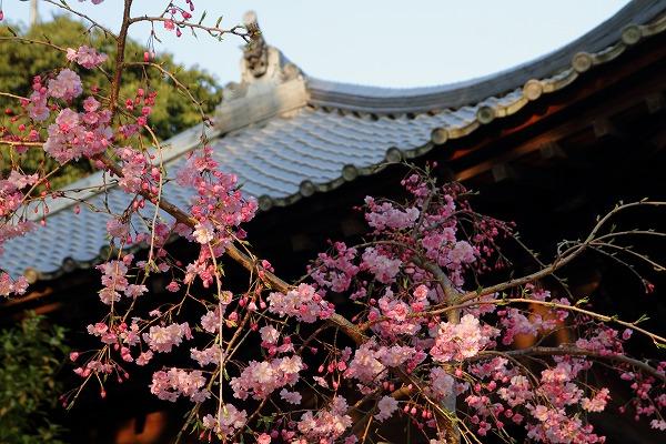 浄土寺・カイドウザクラ 150402 003