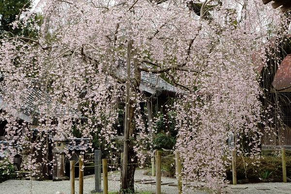 法連寺枝垂桜 150404 026