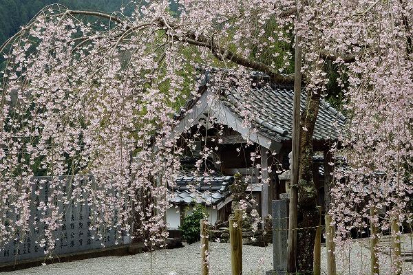 法連寺枝垂桜 150404 027