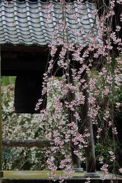 法連寺枝垂桜 150404 048