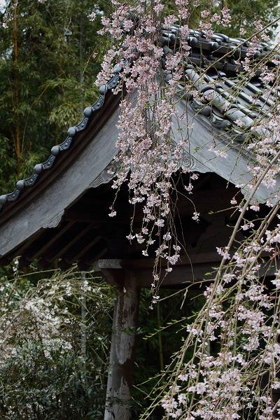 法連寺枝垂桜 150404 059