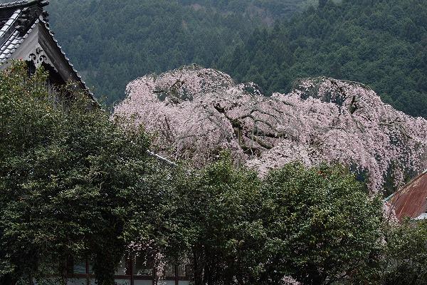 法連寺枝垂桜 150404 068