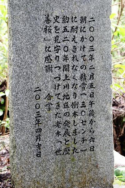 上川世善桜-北地 1504074 002