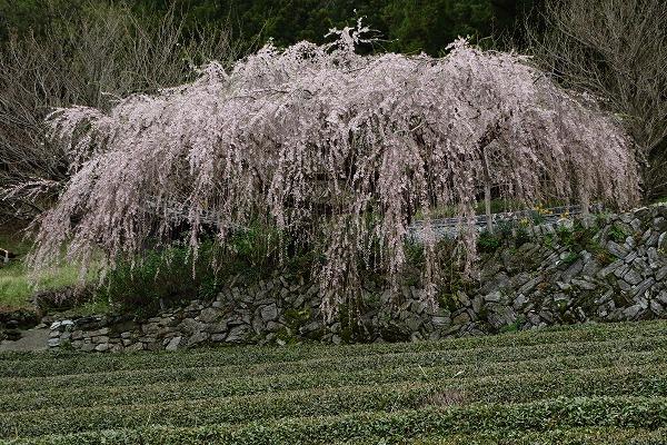 小田野村・枝垂桜 150404 021