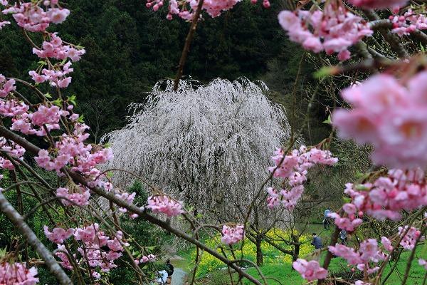 立石相野・枝垂桜 150404 006