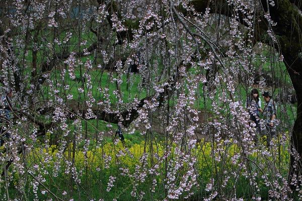 立石相野・枝垂桜 150404 047