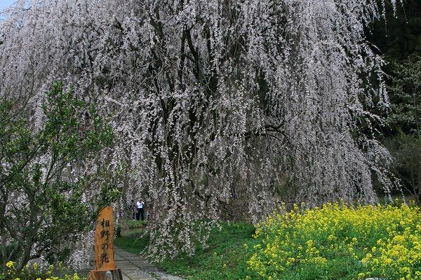 立石相野・枝垂桜 150404 062