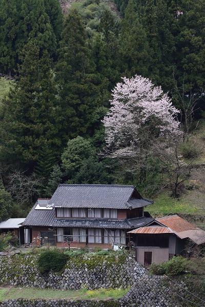 世善桜・北地 150404 01