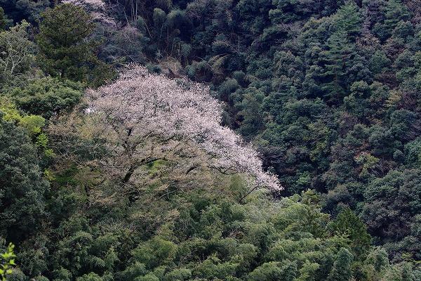 池田地区芋だね桜 150408 004