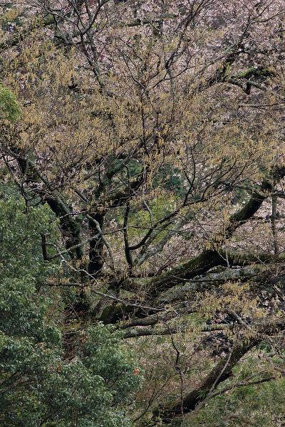池田地区芋だね桜 150408 057