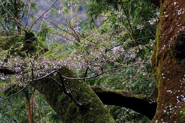 池田地区芋だね桜 150408 042