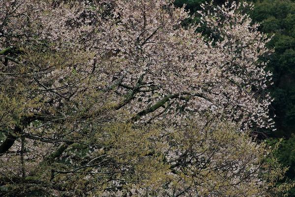 池田地区芋だね桜 150408 056