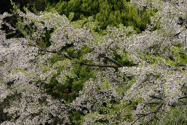井内北間・海棠桜 150412 018