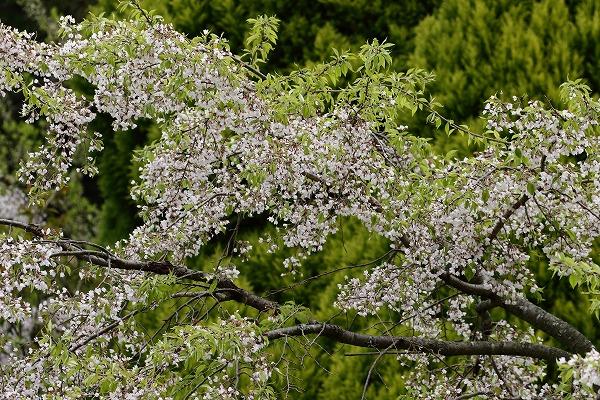 井内北間・海棠桜 150412 020
