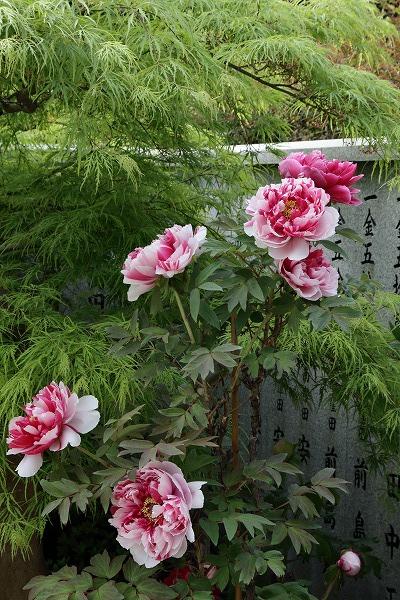 極楽寺・牡丹 150418 009
