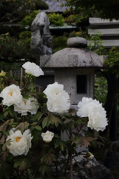 極楽寺・牡丹 150418 029