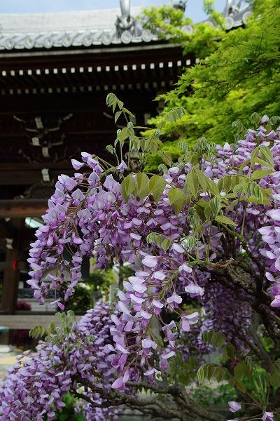 極楽寺・藤 150418 006