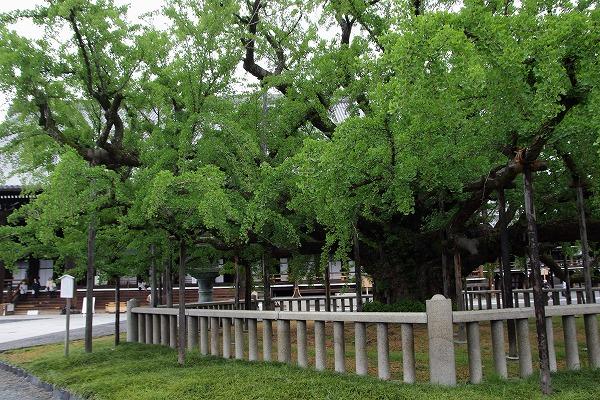 西本願寺・京都市天然記念物大銀杏 150504 01