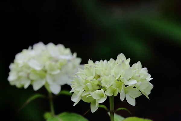 惣河内神社・山紫陽花 150518 03