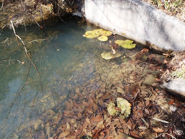 池は落葉だらけ20150221