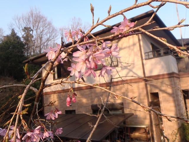垂れ桜20150401