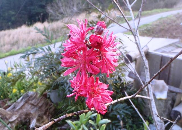 菊咲き桃20150418