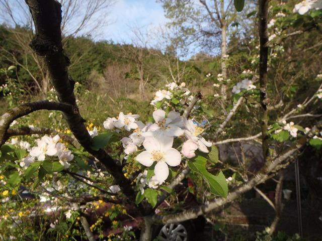 アルプス乙女の花20150422