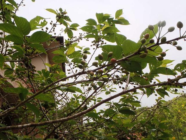 暖地桜桃20150428