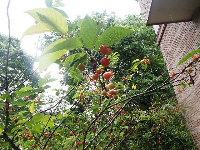 暖地桜桃20150512