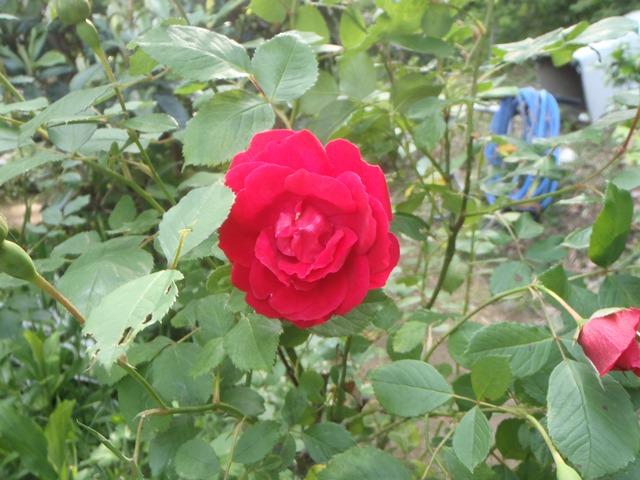 赤いバラ20150519