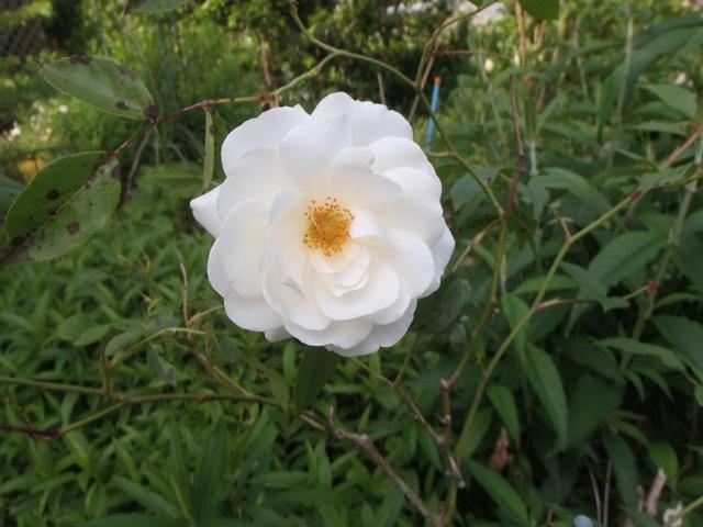 白バラ20150519