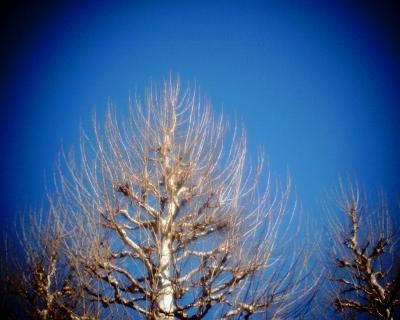 空に伸びるプラタナス・新宿御苑:Entry