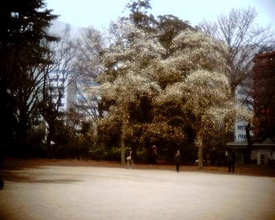 雪のようなハクモクレン・新宿御苑:Entry