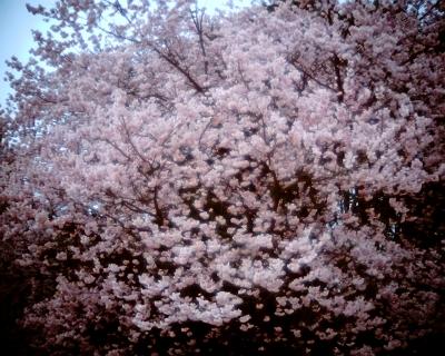 寒桜・新宿御苑:Entry