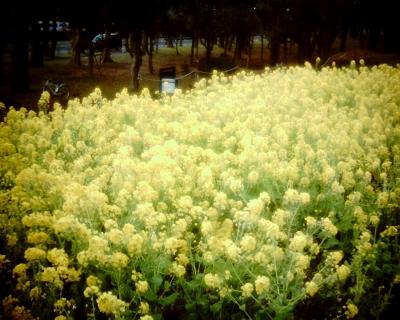 菜の花・砧公園