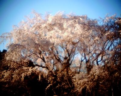 六義園の大きな枝垂れ桜:R2
