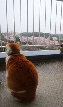 2015桜と小次郎