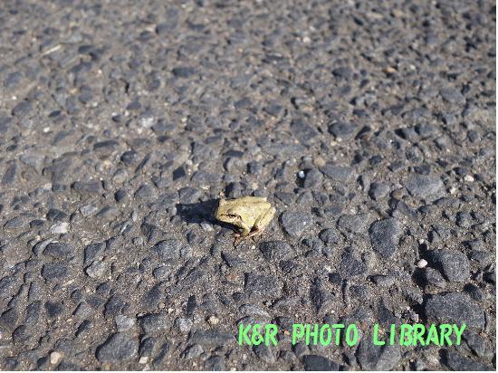 10月19日駐車場のカエル