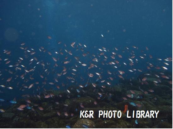 11月29日大瀬崎スズメダイ幼魚の群れ
