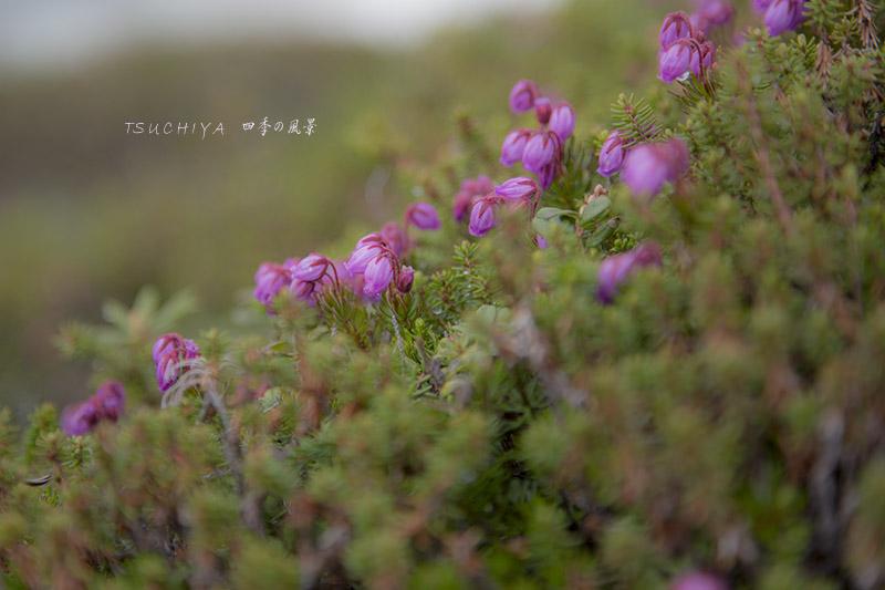 大雪山の花
