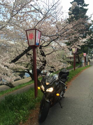 岡崎桜001