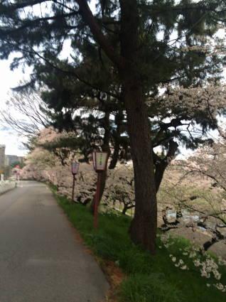 岡崎桜002