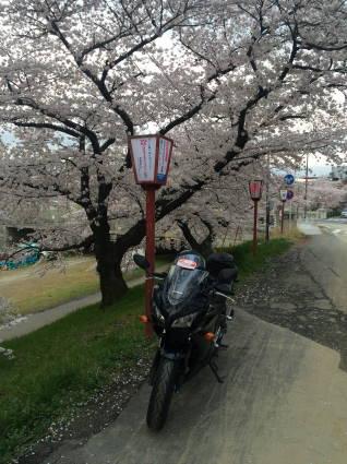 岡崎桜004