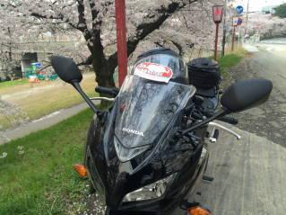 岡崎桜005
